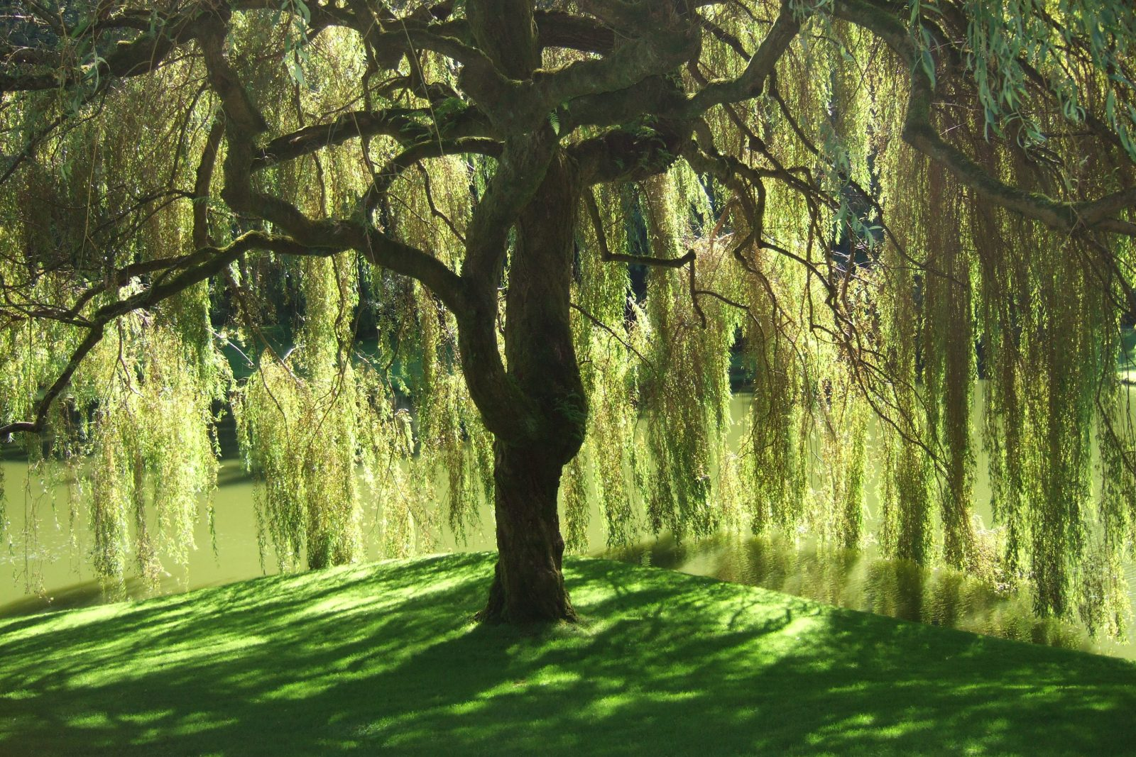 The Symbolism of the Willow Tree