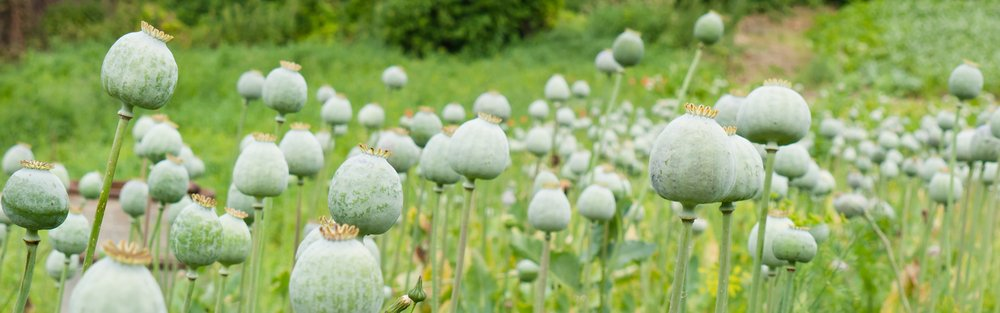 Opium Effects on Your Body and Mind